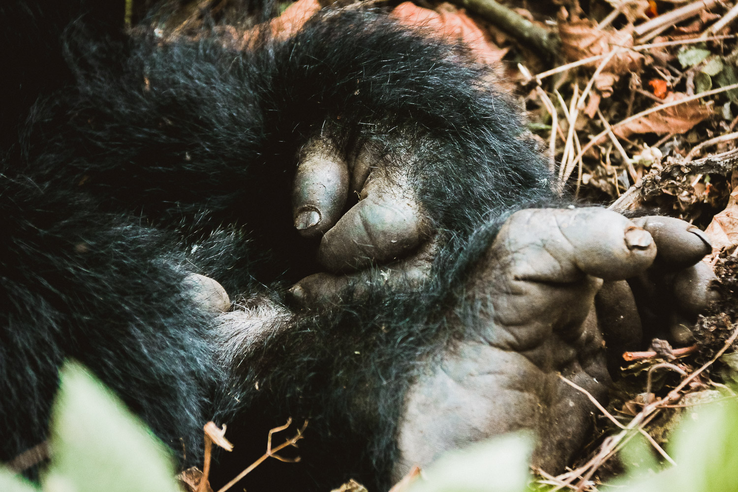 Hand and Feet of Silverback