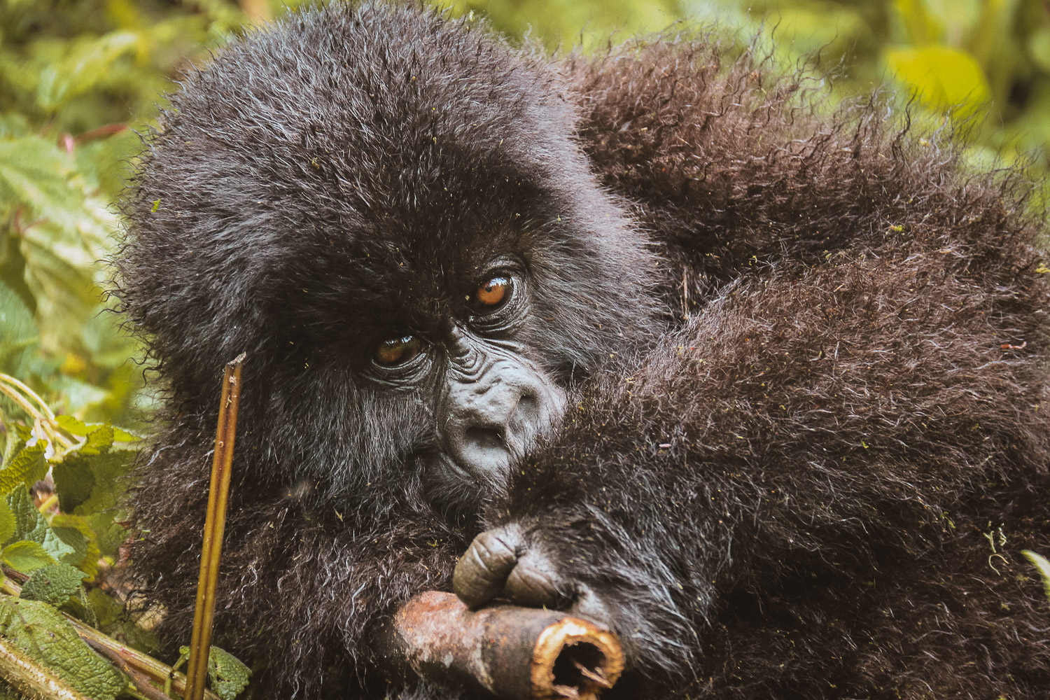 Young Mountain Gorilla in Parc National des Volcans