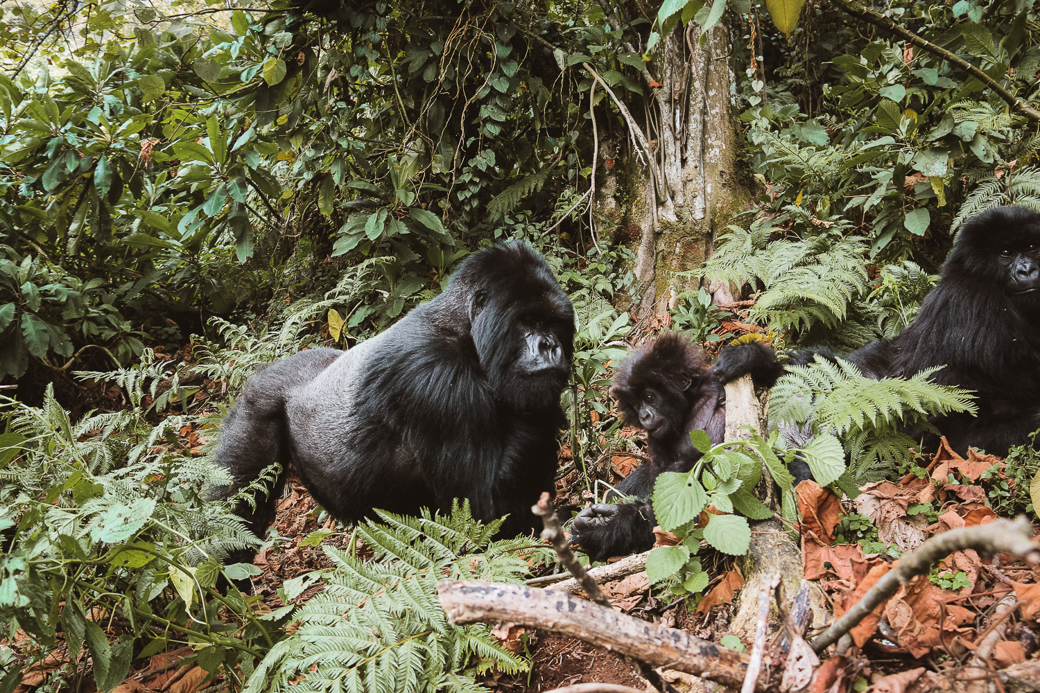Silverback Mountain Gorilla in Parc National des Volcans