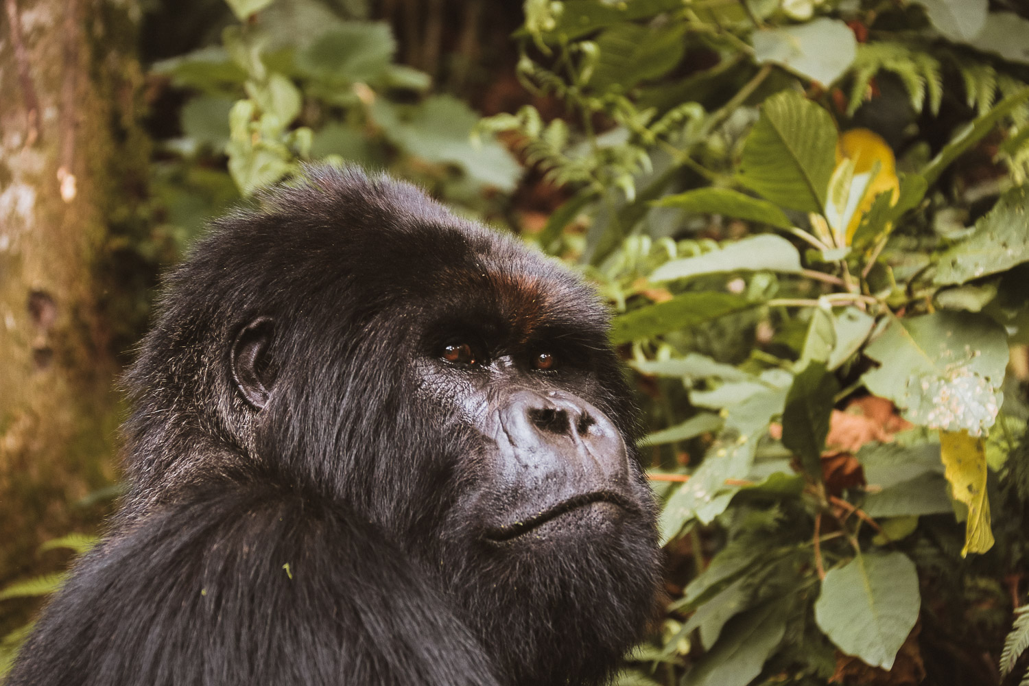 Mountain Gorilla in Parc National des Volcans