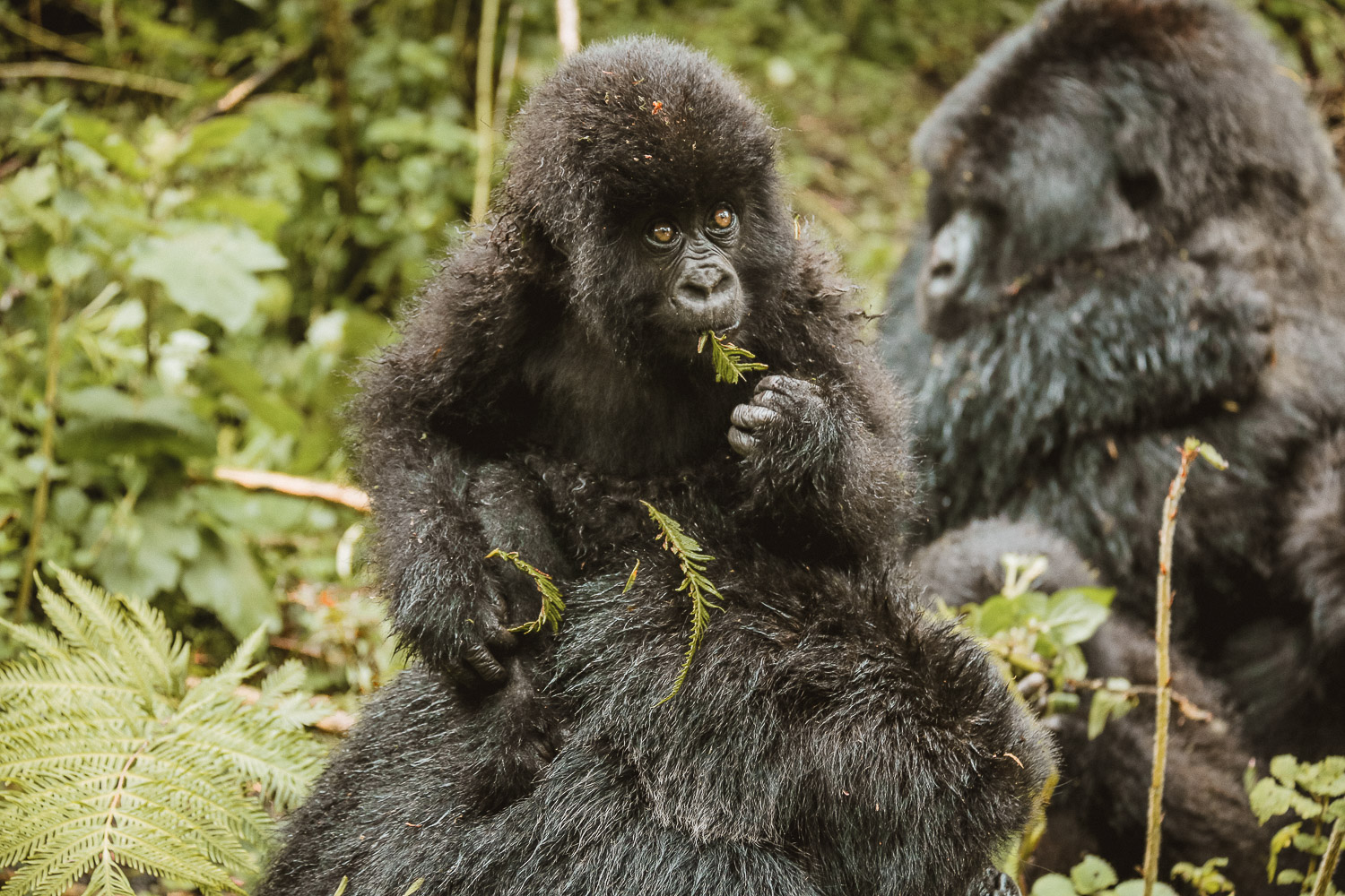 Mountain Gorilla baby on his mother