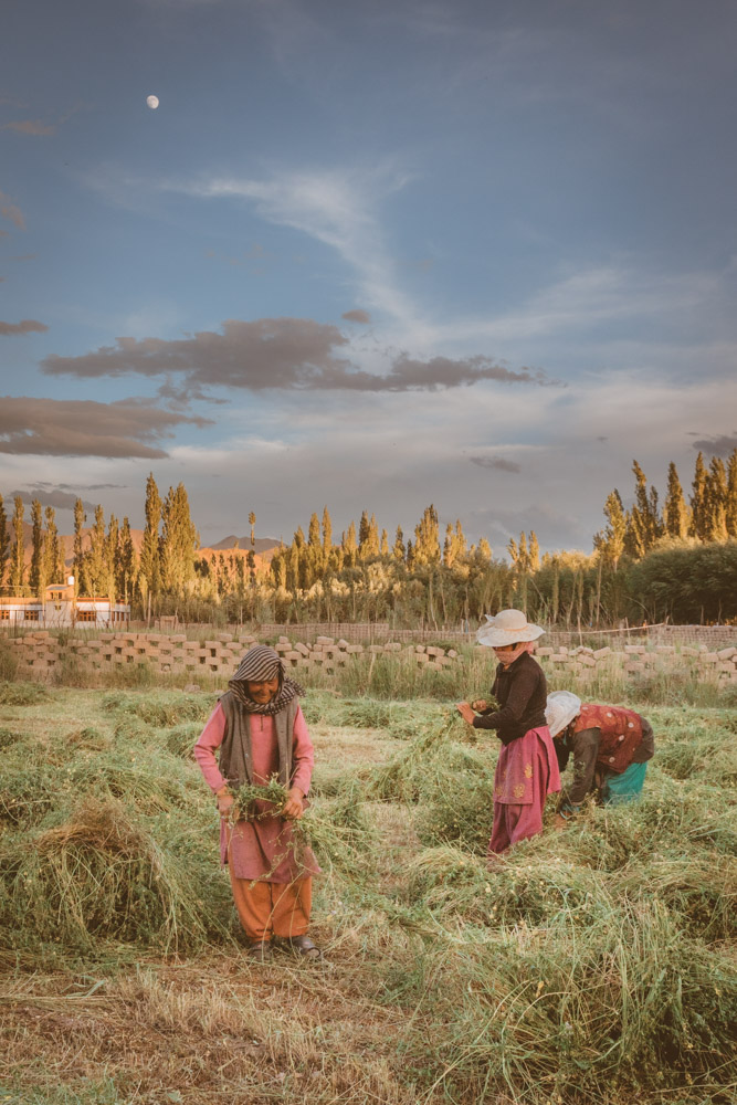 Thiksey countryside, in Leh valley, women working in the field
